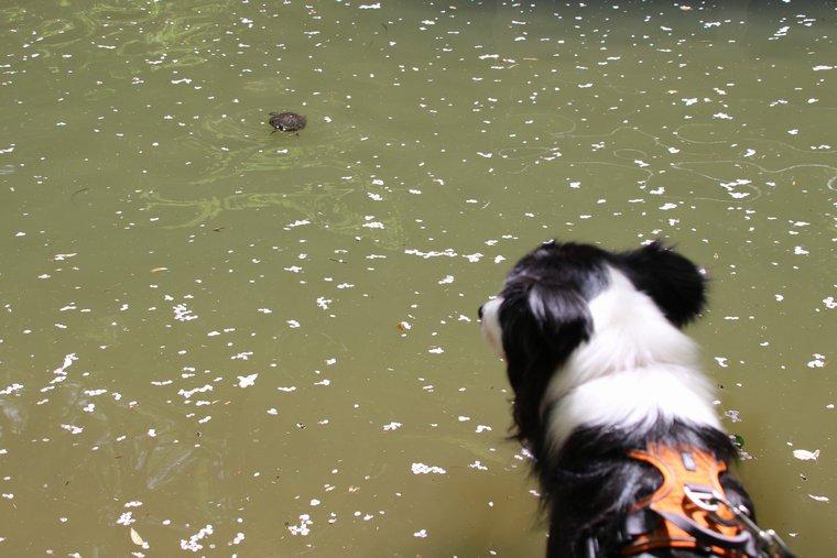 神池にいた亀