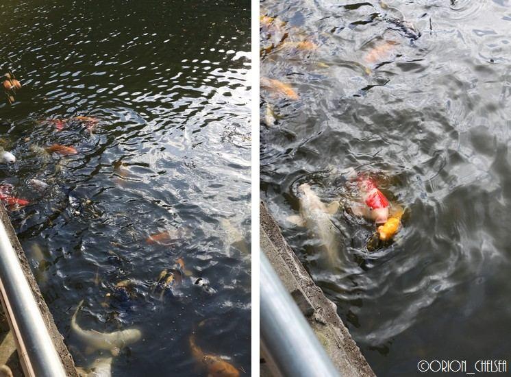 ばばしょの茶屋_池の鯉