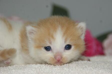 宮城県ペットショップ/スコティッシュフォールド子猫