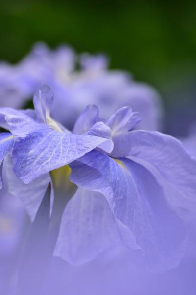 紫陽花_10
