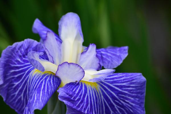 紫陽花_7