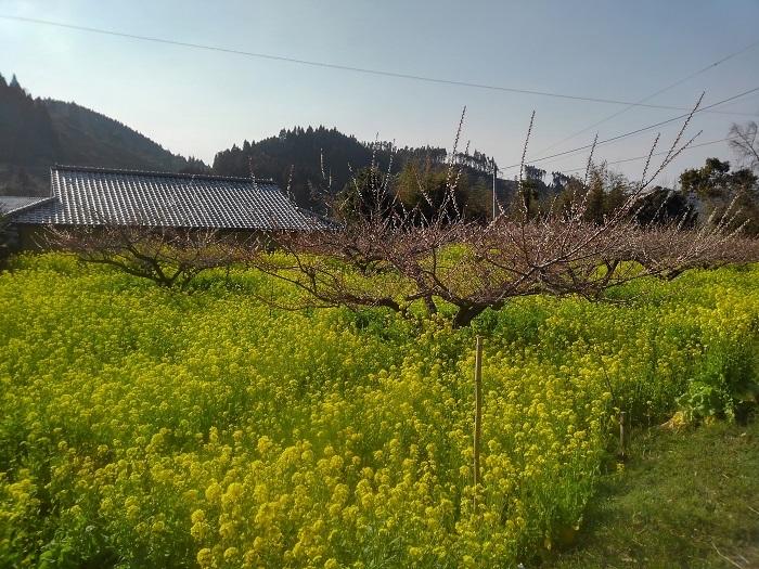 H31223 菜の花