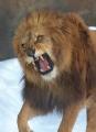 怒るライオン