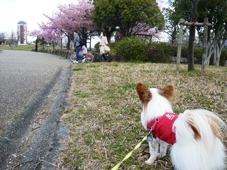 戸田川緑地さくらまつり2