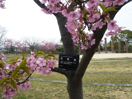 戸田川緑地河津桜1