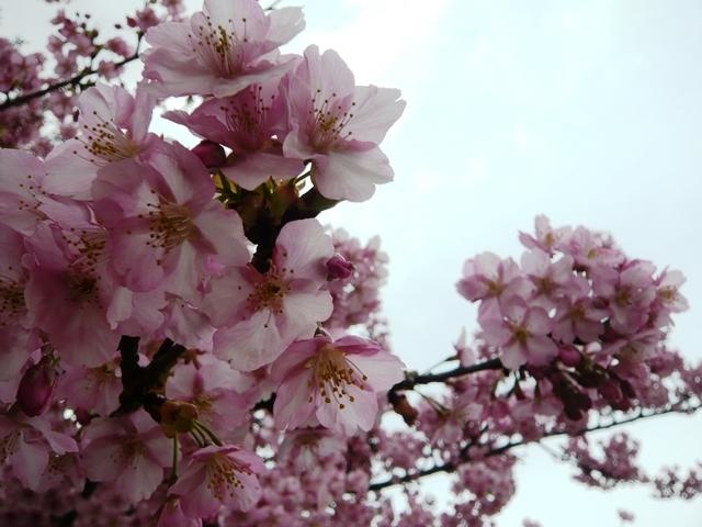 戸田川緑地河津桜4