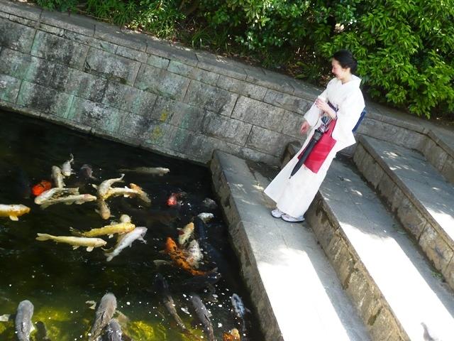 紫陽花茶会:鯉に餌やり