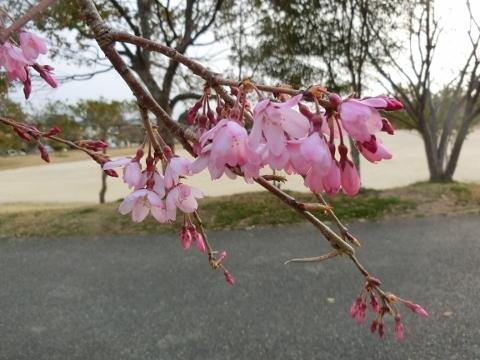 2019-03-29 桜 001 (480x360)