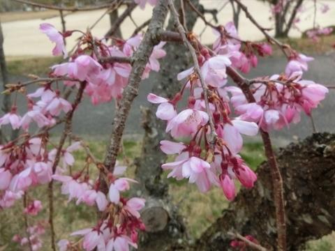 2019-03-29 桜 004 (480x360)