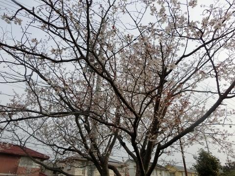 2019-03-29 桜 005 (480x360)