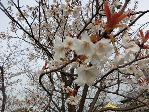 2019-03-29 桜 007 (480x360)