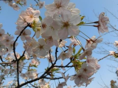 2019-04-07 桜 018 (480x360)