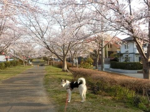 2019-04-07 桜 019 (480x360)