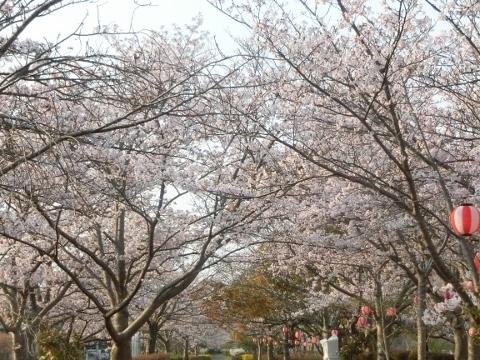 2019-04-07 桜 022 (480x360)