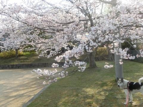 2019-04-07 桜 039 (480x360)