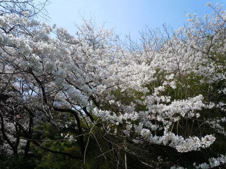 桜4(2019-03-29)