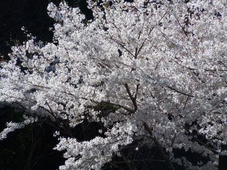 桜1(2019-04-04)