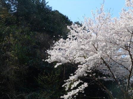 桜1(2019-04-02)
