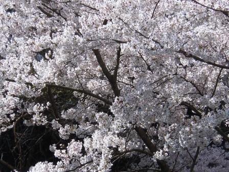桜2(2019-04-02)