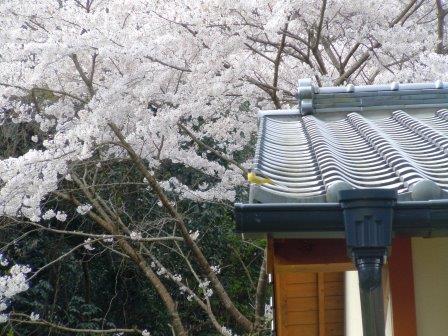 桜と小鳥1(2019-04-02)