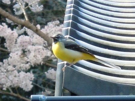 桜と小鳥3(2019-04-02)
