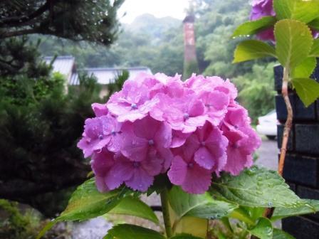 紫陽花1(2019-06-15).