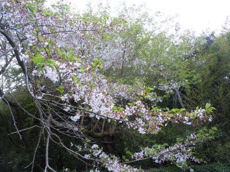 桜1(2019-04-07)