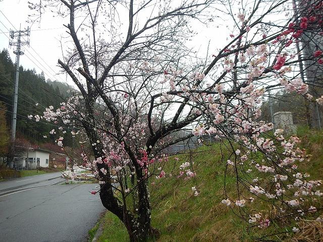 4/30上清花桃