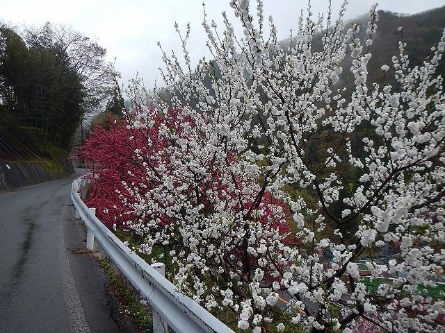 4/30下清花桃