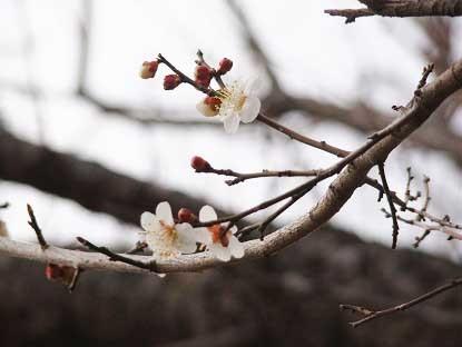 20190312梅の花