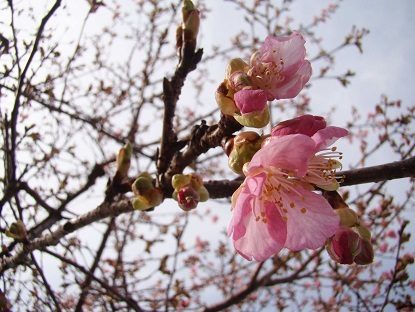 関谷道の駅桜