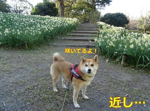 1水仙ソロソロ