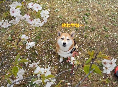 1桜も終わり