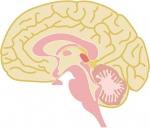 無料画像 脳
