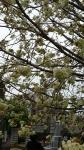 谷中霊園の青い桜 満開その3