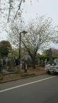 谷中霊園の青い桜 満開その1