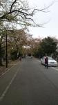 谷中霊園の染井吉野の葉桜