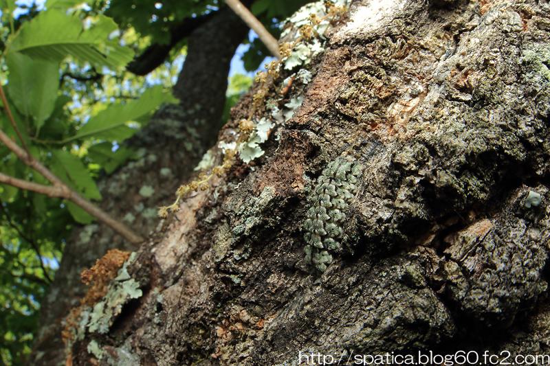 クロミドリシジミ幼虫