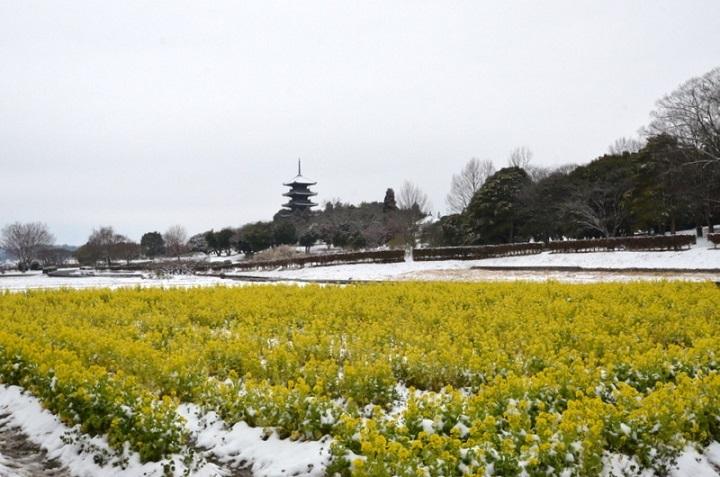菜の花と塔