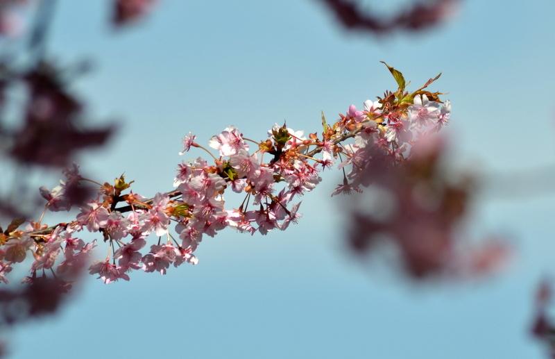 河津桜に葉DSC_0152