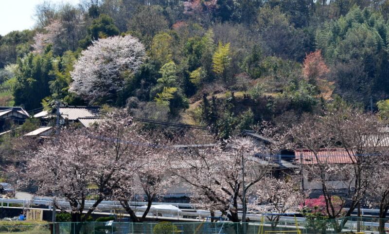 DSC_0650-遊園地の桜