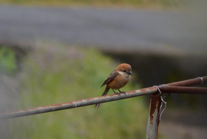 百舌鳥DSC_1200 -