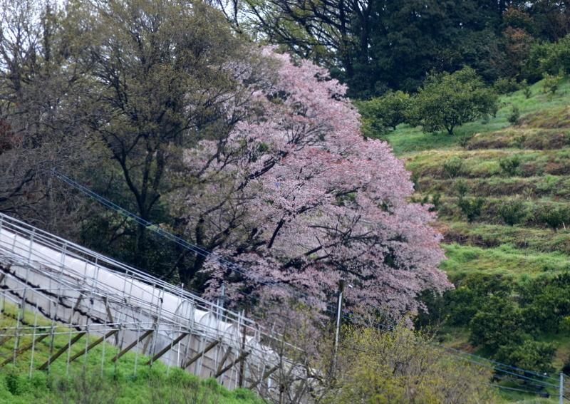 葡萄ハウス横の桜