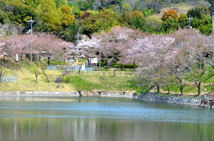 DSC_1384散りゆく桜