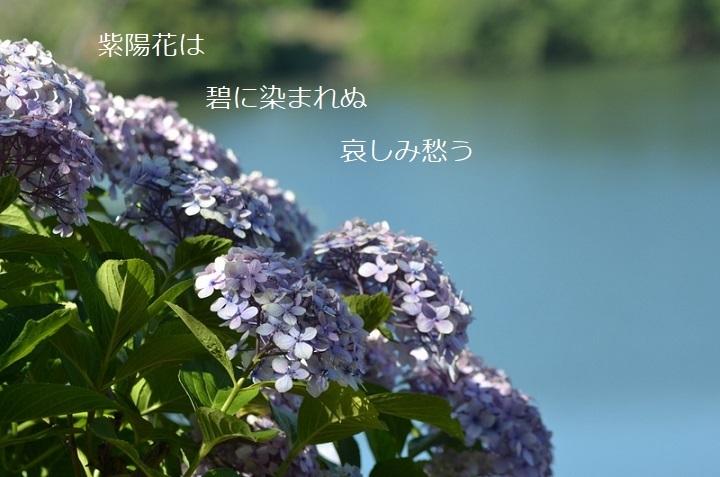 紫陽花はDSC_2288 - 〇