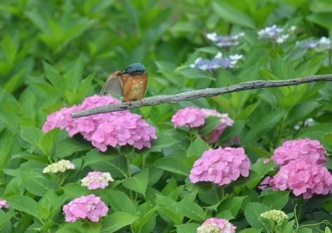 旦那撮影紫陽花とカワセミ