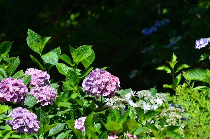 紫陽花DSC_2494