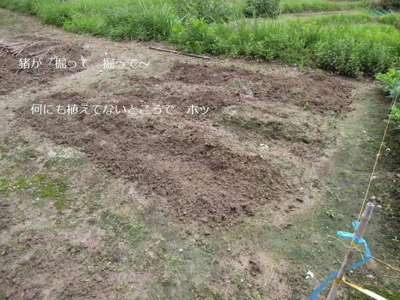 イノシシ被害DSCN2008