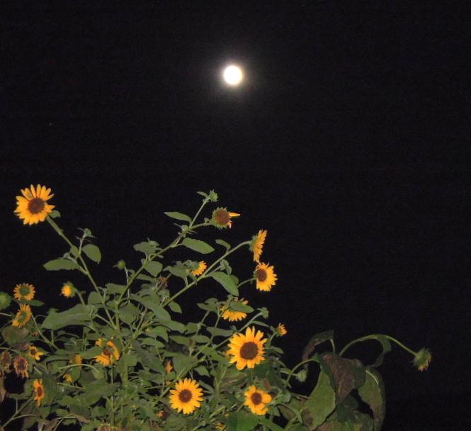 コンデジでひまわりと月