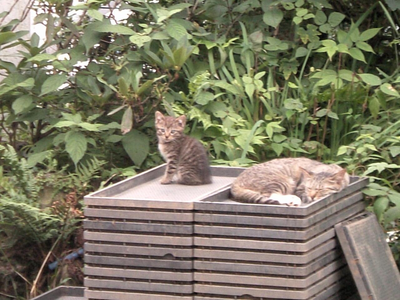 苗箱と猫 タビ